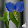 Asiatic Dayflower (Commelina communis)… August 21, 2014.