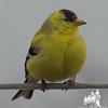 American Goldfinch (Carduelis tristis)… April 28, 2014.