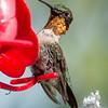 (Baited) Ruby-throated Hummingbird (Archilochus colubris)… August 4, 2014.