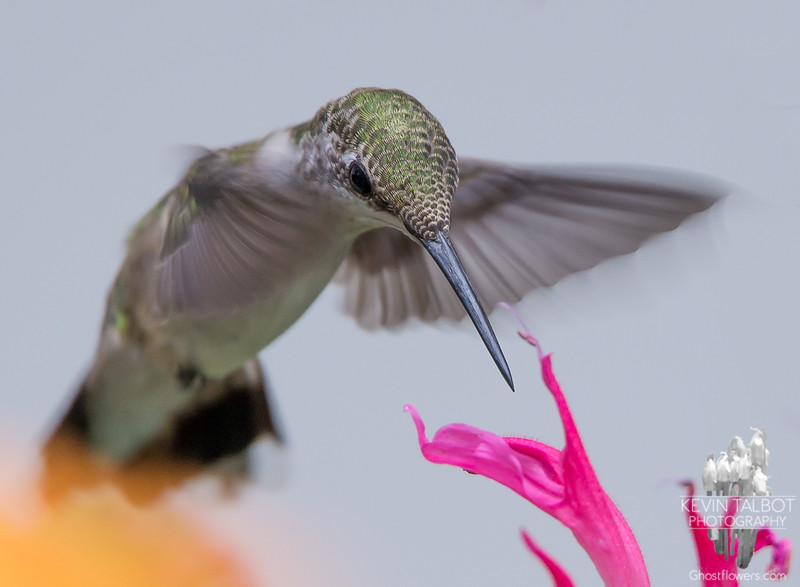 Ruby-throated Hummingbird (Archilochus colubris)… August 1, 2014.
