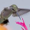 Ruby-throated Hummingbird (Archilochus colubris)… August 1, 2014.
