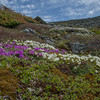 Diapensia (Diapensia lapponica) and Lapland Rosebay (Rhododendron lapponicum) on Mount Washington… June 11, 2014.