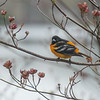 Baltimore Oriole (Icterus galbula) in our Dogwood today… May 9, 2014.
