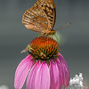 Great Spangled Fritillary (Speyeria cybele) on Purple Cone Flower (Echinacea purpurea Asteraceae)… July 25, 2014.