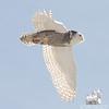 Snowy Owl (Nyctea scandiaca)… February 12, 2014.