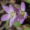 Spring Beauty (Claytonia caroliniana) at Lamprey River, Epping, NH… April 24, 2014.