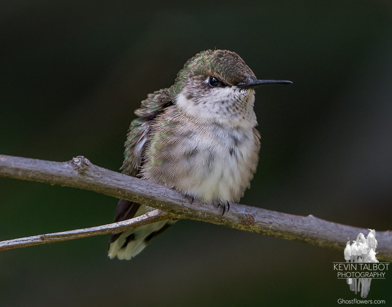 Mad Hummingbird- Ruby-throated Hummingbird (Archilochus colubris)… July 29, 2014.