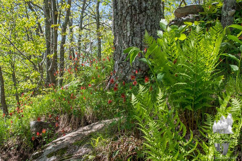 Wild Columbine (Aquilegia canadensis) today in Pawtuckaway State Park… May 20, 2014.
