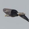 Bald Eagle (Haliaetus leucocephalus) over the Powow River… November 30, 2014.