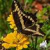 Giant Swallowtail (Papilio cresphontes)… August 12, 2014.
