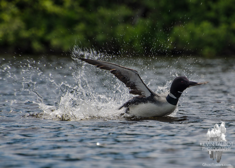 Common Loon (Gavia mimer) while paddling Second Connecticut Lake in Pittsburgh, NH… July 12, 2014.
