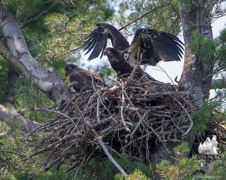 Soon enough, little ones, soon enough- Bald Eagle (Haliaetus leucocephalus)… July 22, 2014.