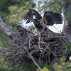 Soon enough, little ones, soon enough- Bald Eagle (Haliaetus leucocephalus)… July 22, 2014.