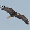 Bald Eagle (Haliaetus leucocephalus)… January 26, 2014.