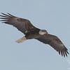 Bald Eagle (Haliaetus leucocephalus)… January 26, 2014.