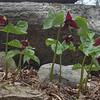 Today at George Burrows Brookside Sanctuary South Hampton, NH - Wake Robin (Trillium erectum)… April 22, 2014.