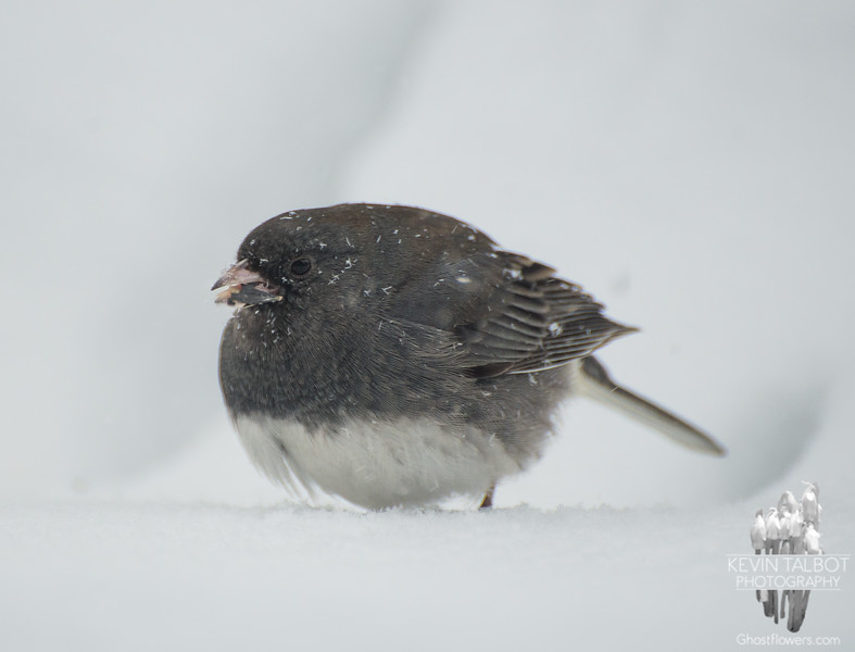 Bird vs blizzard-Dark-eyed Junco (Junco hyemalis)… February 5, 2014.