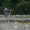 Great Blue Heron (Ardea herodias) on the Powow River… July 4, 2014.