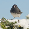 Dark-eyed Junco (Junco hyemalis)… February 10, 2014.