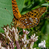 Great Spangled Fritillary (Speyeria cybele) on  Milkweed (Asclepias syriaca)… July 11, 2014.