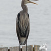 Today on the Powow- Great Blue Heron (Ardea herodias)… October 24, 2014.