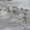 I believe these are-Dunlin (Calidris alpine)… February 14, 2014.
