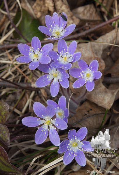 Round-lobed Hepatica (Anemone americana) at Pawtuckaway State Park… April 21, 2014.