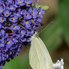 In the garden today- Cabbage White (Pieris rapae)… July 24, 2014.