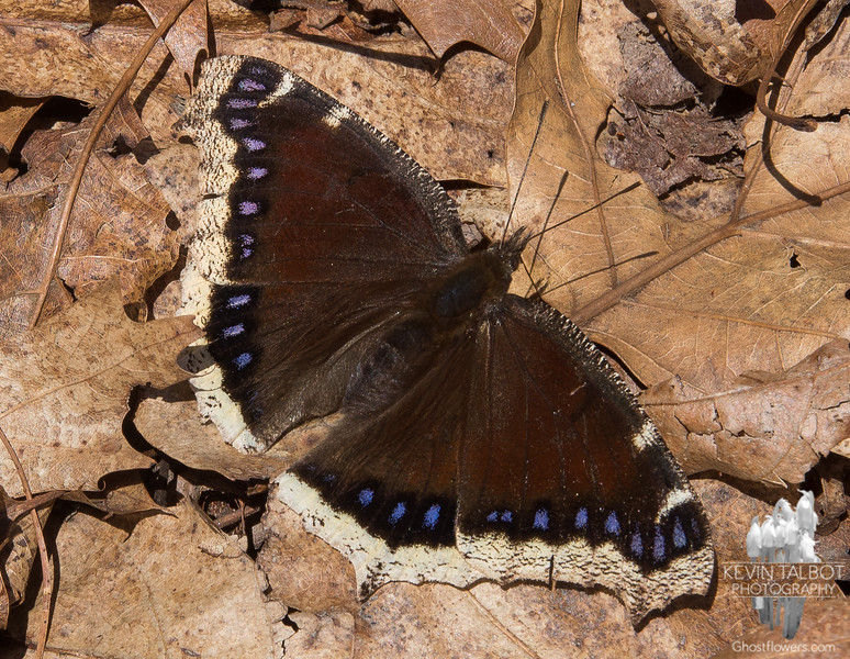 Mourning Cloak (Nymphalis antiopa)… April 17, 2014.