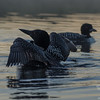 Pre-dawn stretch- Common Loon (Gavia immer)… August 20, 2014.