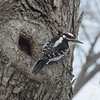 Hairy Woodpecker (Picoides villosus)… March 2, 2014.