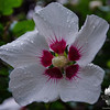 Today in the rain- Rose of Sharon (Hibiscus Syriacus)… September 13, 2014.