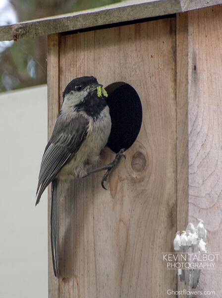 No bluebirds in the bluebird house, but we do have the Green-Mustachioed Chickadee!- Black-capped Chickadee (Parus  atricapillus)… June 9, 2014.