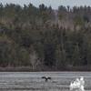 Eagles on the Powow-Bald Eagle (Haliaetus leucocephalus)… March 31, 2014.
