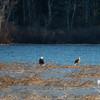 Early morning visitors on the Powow- Bald Eagle (Haliaetus leucocephalus)… December 15, 2014.