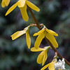 Forsythia… April 30, 2014.