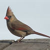 Mr. Handsome's beautiful wife- Cardinal (Cardinalis cardinals)… February, 25, 2014.