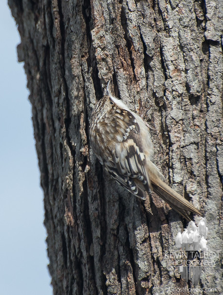 Brown Creeper (Certhia americana)… March 15, 2014.