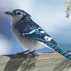 Blue Jay (Cyanocitta cristata)… February 16, 2014.
