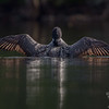 On Christine Lake- Common Loon (Gavia mimer)… October 15, 2014.