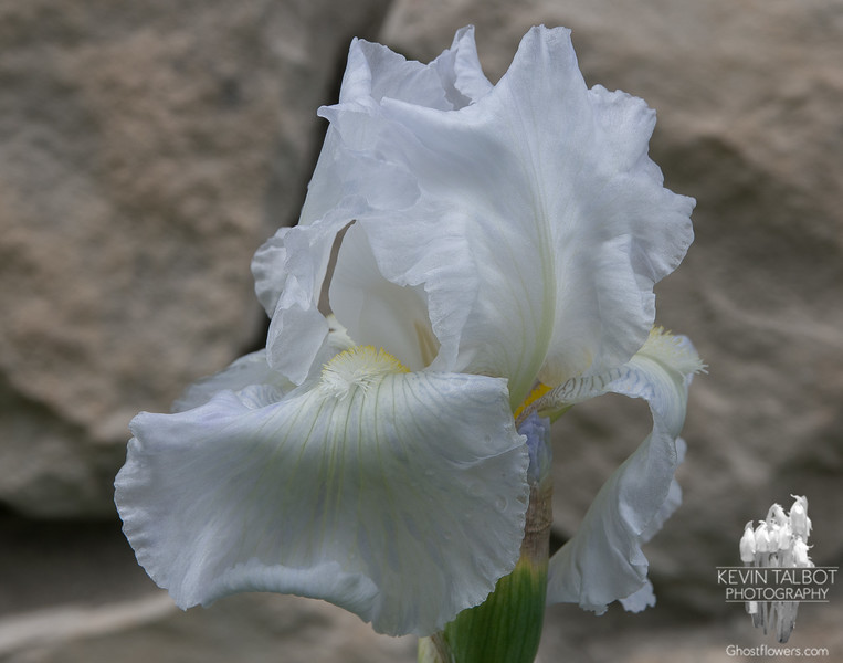 Another iris in our garden… May 25, 2014.
