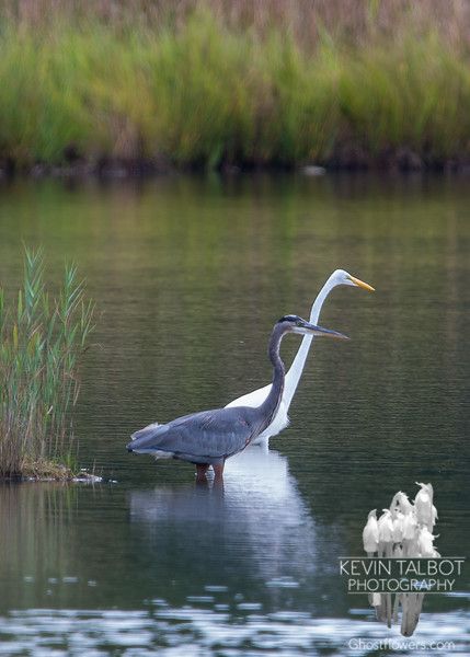 Great Blue Heron (Ardea herodias) with Great Egret (Casmerodius albus)… September 7, 2014.