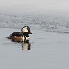 Hooded Merganser (Lophodytes cucullatus)… March 4, 2014.