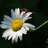Autumn Meadowhawk (Sympetrum vicinum) on  Oxeye Daisy (Chrysanthemum leucanthamum)… July 18, 2014.