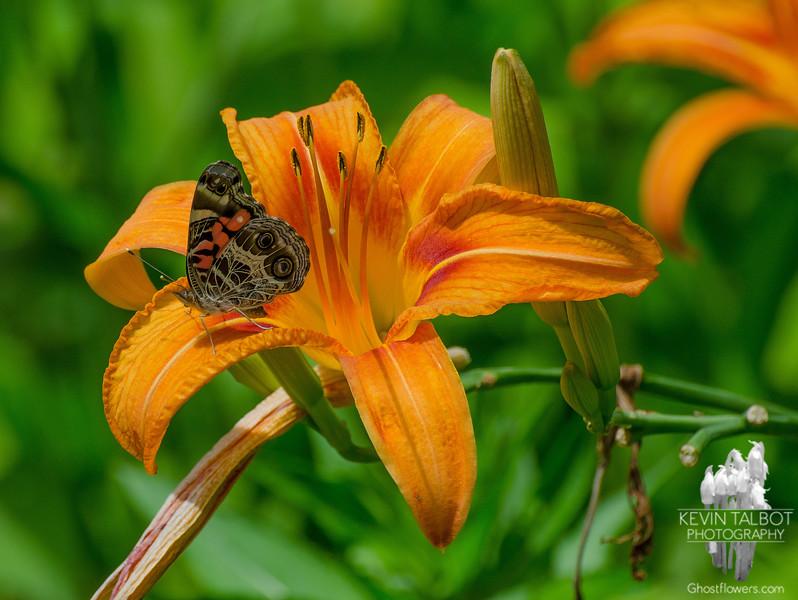 Painted Lady (Vanessa cardui) onTiger Lily (Hemerocallis fulva)… July 10, 2014.