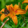 Painted Lady (Vanessa cardui) onTiger Lily (Hemerocallis fulva)… July 1, 2014.