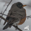 American Robin (Turdus migratorius)… March 10, 2014.