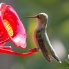 Ruby-throated Hummingbird (Archilochus colubris)… September 1, 2014.