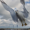 Ring-billed Gull (Larus delawarensis)… November 28, 2014.