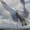 Ring-billed Gull (Larus delawarensis)… November 28, 2014.